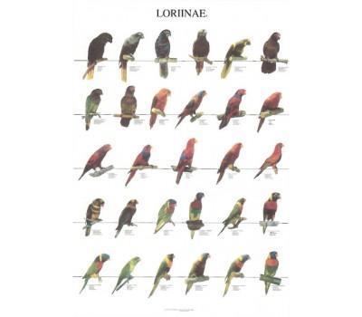 Loritos 1